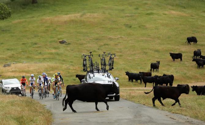 Несколько коров решили выйти на дорогу (фото: Getty Images Sport)